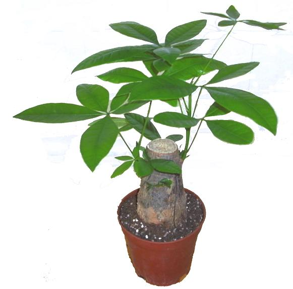 怎么养小发财树